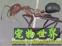 令人惊叹的蚂蚁世界:蚂蚁琥珀揭示鲜为人知的另一面(图)